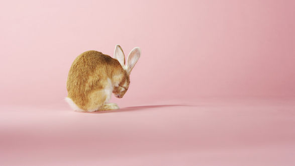 Обои Обиженный заяц на розовом фоне