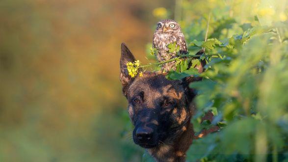Обои Овчарка с совой на размытом фоне