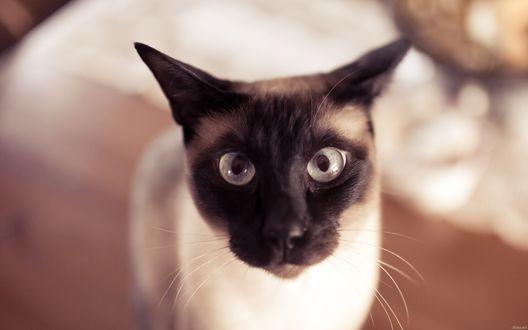 Обои Смешной сиамский кот