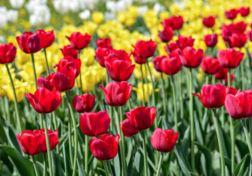 Обои для рабочего стола желтые тюльпаны