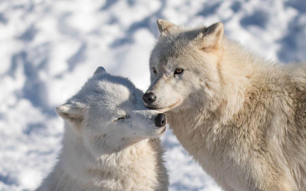 белые волки пара картинки выполнена трёх цветовых