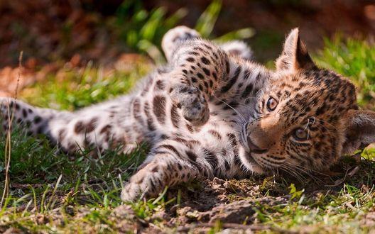 Обои Малыш леопарда лежит среди травы