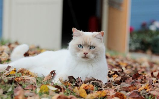 Обои Голубоглазый кот лежит в осенних листьях