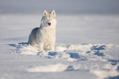 Обои Хаски стоит, зажмурив глаза, среди снега