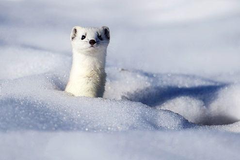 Обои Белый горностай выглядывает из-под снега