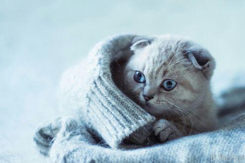 Обои Голубоглазый котенок лежит завернутый в теплый свитер