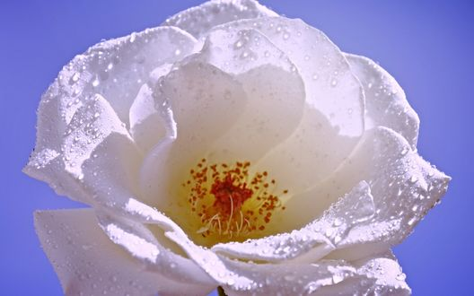 Обои Бутон белой розы в капельках росы