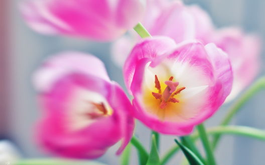 Обои Розовые тюльпаны на размытом фоне