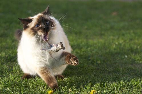 Обои Кот испугался мыши
