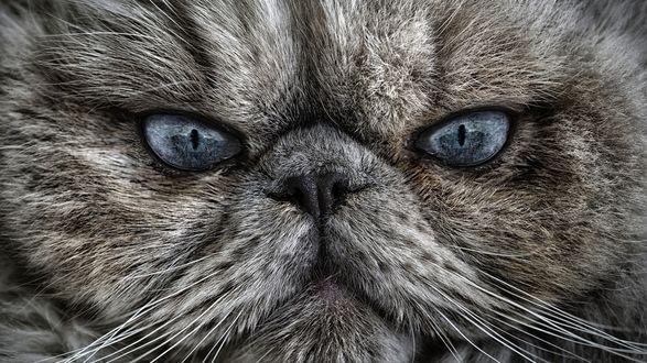 Обои Взгляд сердитого персидского кота