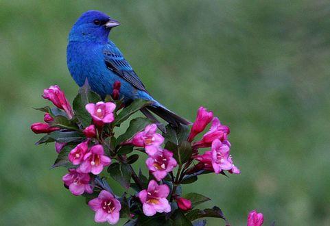Обои Синяя птица сидит на ветке цветов