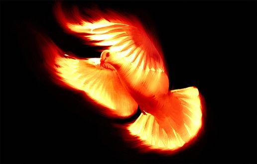 Обои Огненный голубь на черном фоне