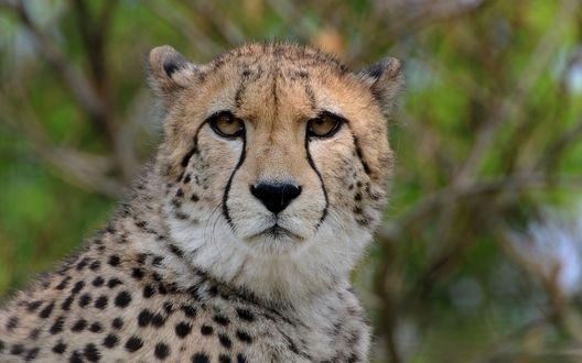 Обои Гепардовый взгляд на размытом фоне
