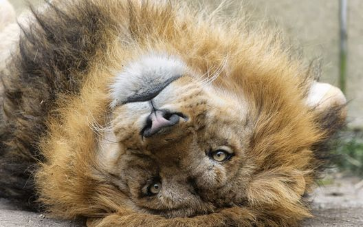 Обои Лев лежа на спине, запрокинув голову смотрит назад