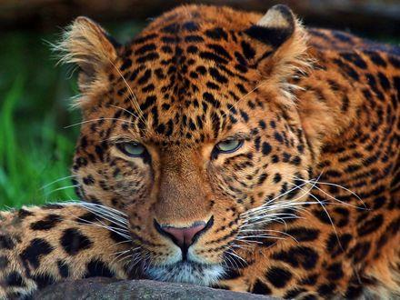 Обои Леопард лежит с грустным взглядом