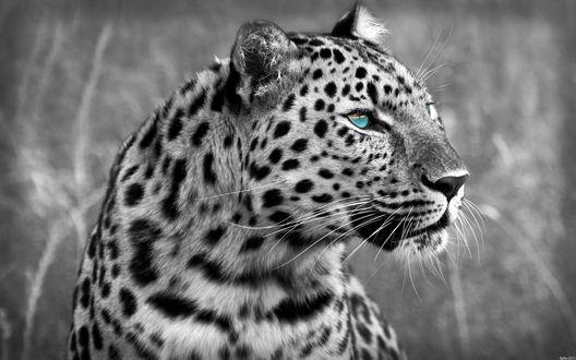 Обои Леопард с синими глазами