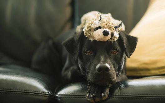 Обои Черный пес с игрушкой на голове лежит на диване
