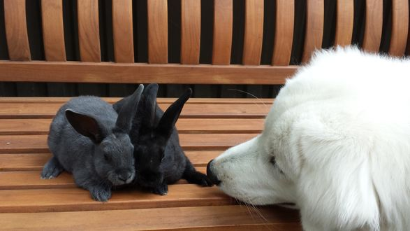 Обои Белый пес обнюхивает двух серых кроликов, которые сидят на деревянной скамейке