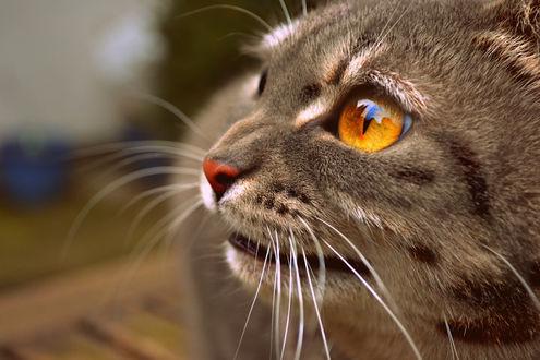 Обои Кот с желто-коричневыми глазами, by scarper493
