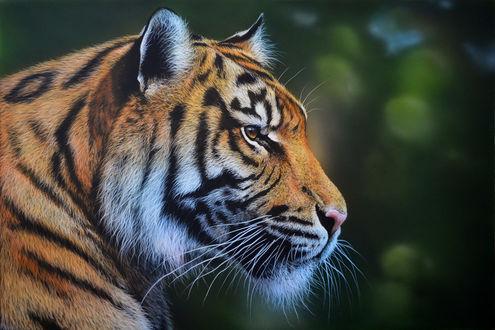 Обои Тигр на размытом фоне, ву Kazimirov Dmitriy