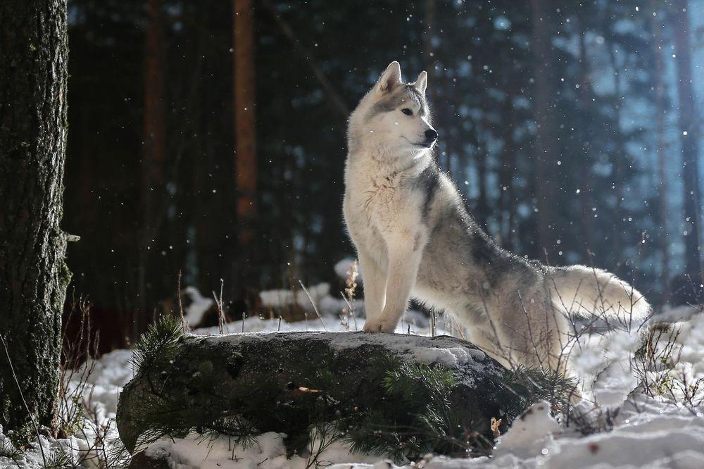 картинка лес волк снег собственный