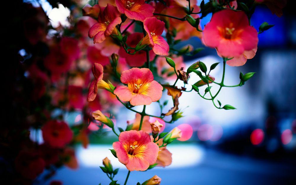 Обои для рабочего стола Красивые цветы кампсис / Campsis Laur / из семейства бигнониевых / Bignoniaceae/