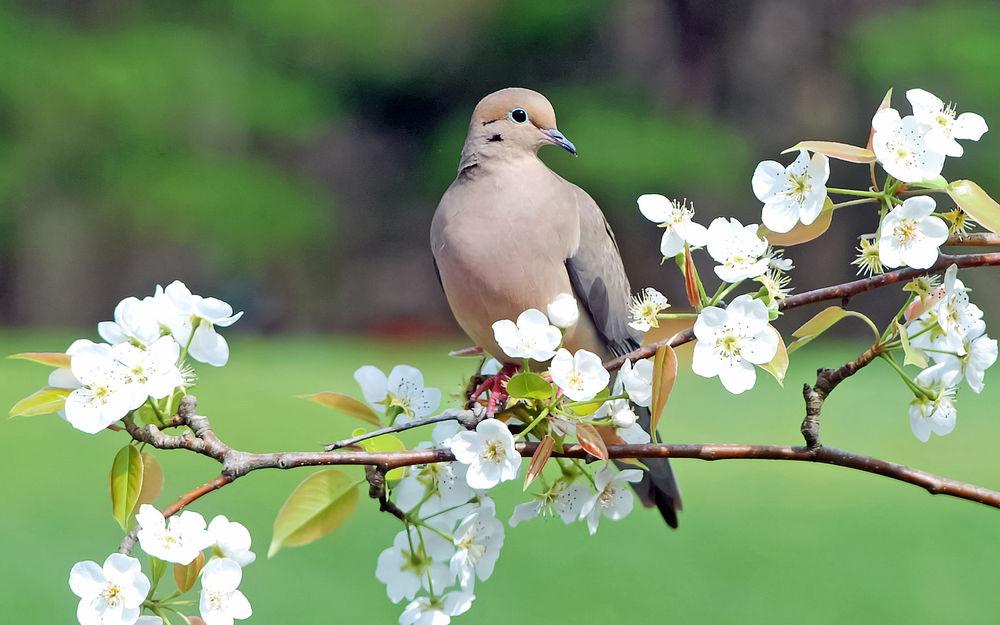 природа белые птицы ветка голуби  № 592560 загрузить