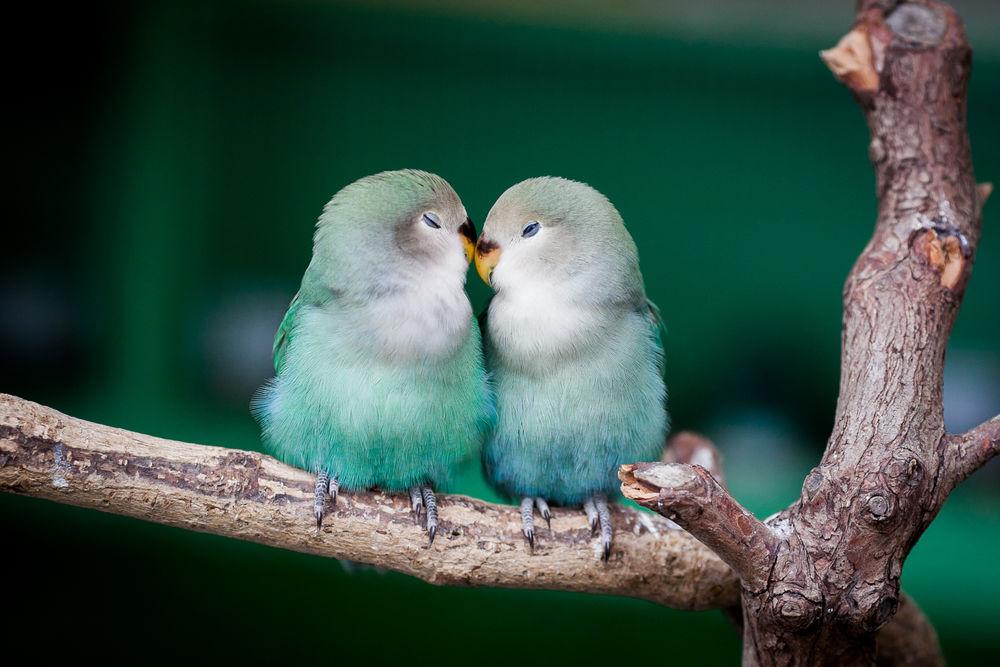 Обои для рабочего стола Целующиеся попугайчики на ветке дерева, ву Daria Huxley