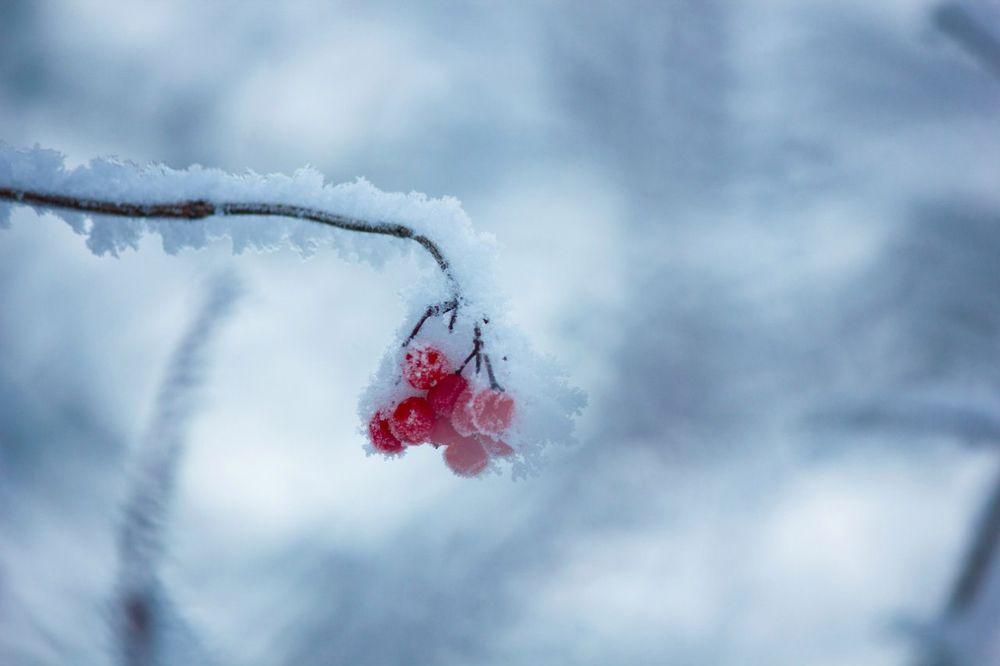 Обои для рабочего стола Ветка с красными ягодами в снегу