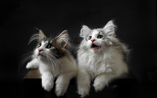 Обои Две пушистые кошки лежат на стуле и смотрят вверх