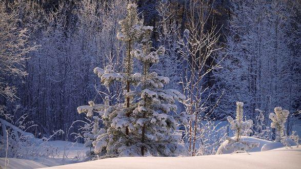 Обои Ель в инее в зимнем лесу
