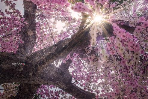 Обои Солнечные лучи освещают цветущее дерево сакуры, фотограф Thiеn Vu Vu