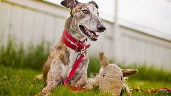 Обои Собака с игрушкой лежит в траве