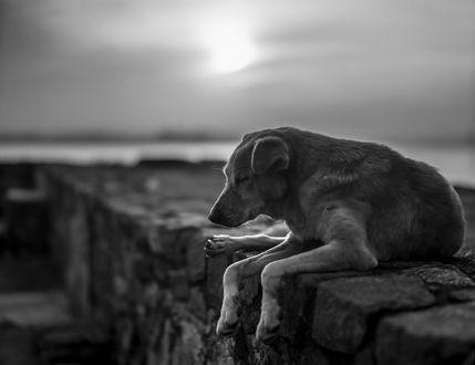 Обои Спящий пес у дороги, by Roger-Wilco-66