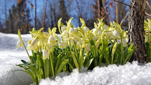 Обои Цветы белоцветника в снегу среди деревьев