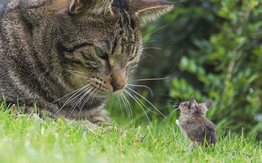 Обои Полосатый кот лежит на зеленой траве и смотрит на мышонка сидящего напротив
