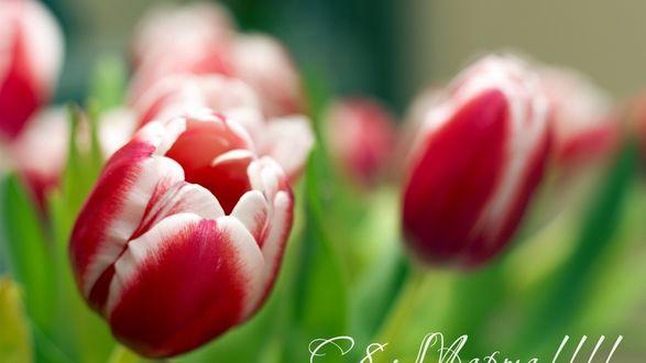 Обои Тюльпаны на размытом фоне (С 8 марта!)