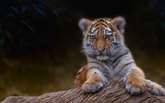 Обои Красивый тигренок лежит на поваленном дереве