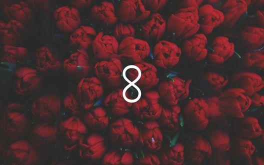 Обои Цифра восемь на фоне охапки красный тюльпанов