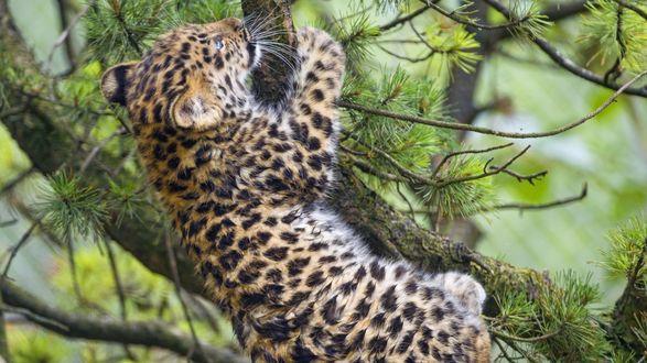 Обои Котенок амурского леопарда на дереве