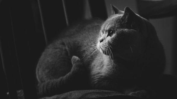 Обои Британский серый кот смотрит в сторону