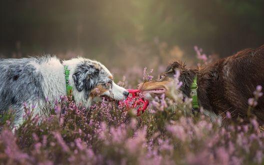 Обои Собаки играют с мячом на лавандовом поле