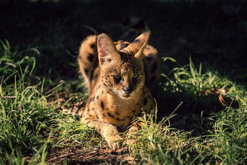 Кот пушистый полосатый