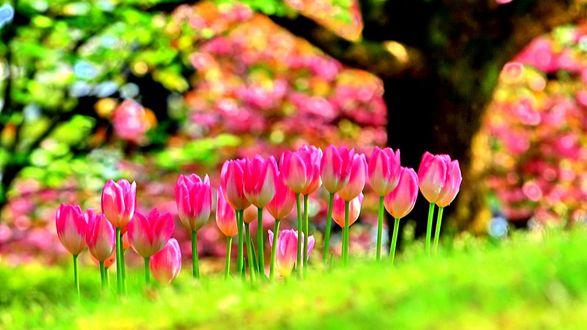 Обои Розовые весенние тюльпаны на фоне деревьев