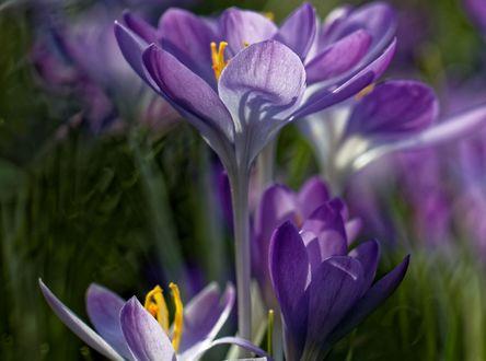 Обои Фиолетовые весенние крокусы