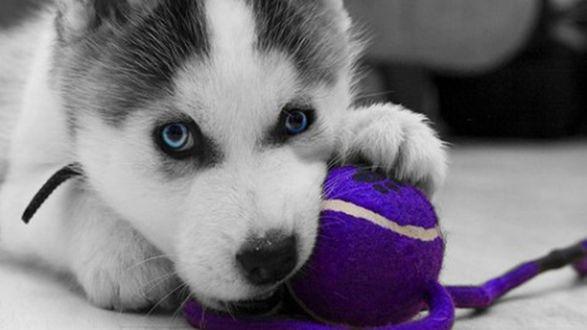 Обои Щенок хаски грызет синий мяч