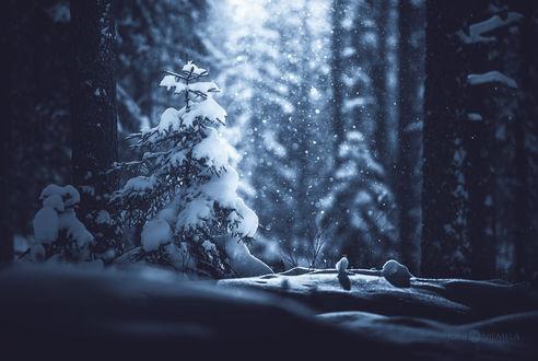 Обои Заснеженная ель в лесу под падающим снегом, by JoniNiemela