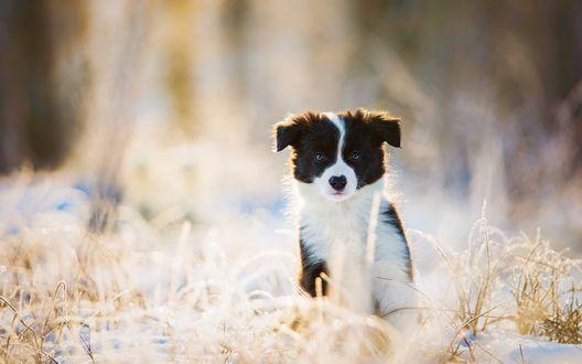 Обои Милый щенок сидит на снегу среди сухой травы