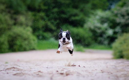Обои Черно-белый бостон-терьер бежит по пляжу