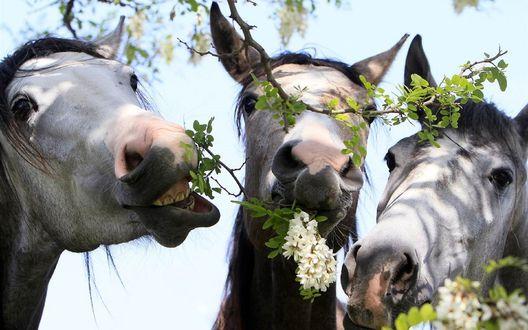Обои Три лошади жуют белую акацию